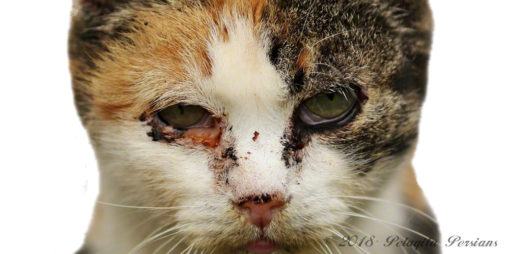 a cat with conjuntivitis