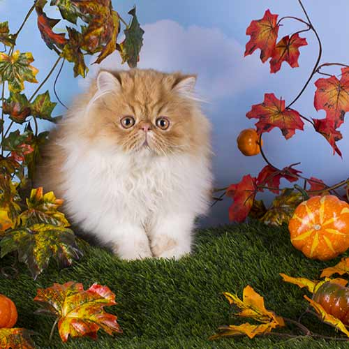 Pelaqita Persians Healthy Persian Kittens For Sale Health Guarantee