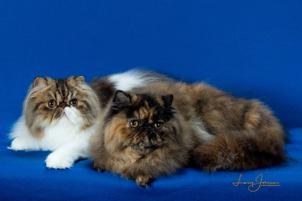 Two Persian cats