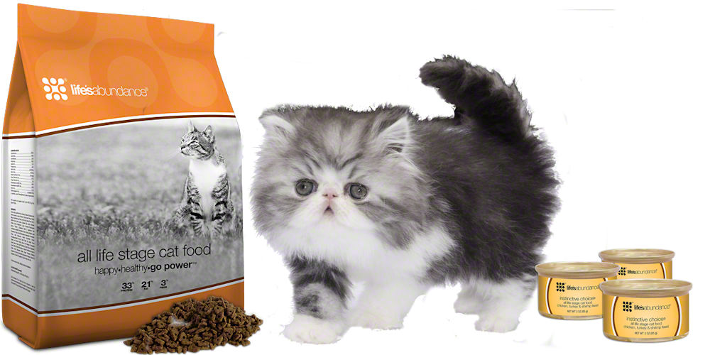 Persian kitten with dry cat food and canned cat food