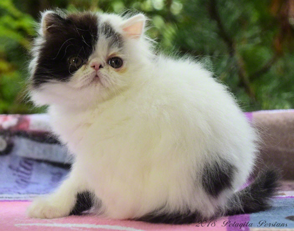 Persian kitten with eye stains