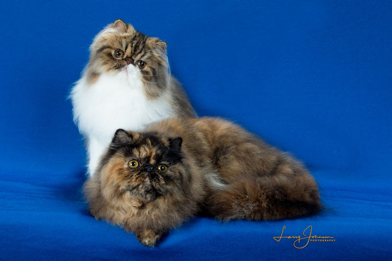 two Persians cats - cat show picture