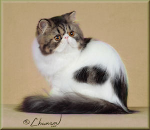 brown tabby & white Persian cat