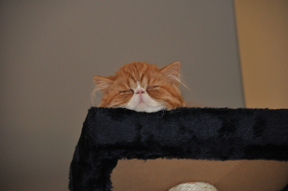 Red Tabby and White Persian cat laying on top of cat tree