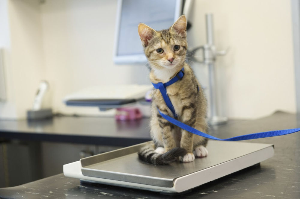 cat sitting on scale at veterinarian's office