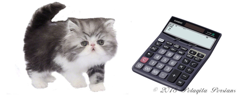 Persian kitten with calculator