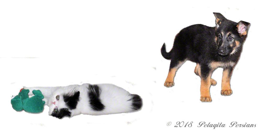 Persian kitten with German Shepherd puppy
