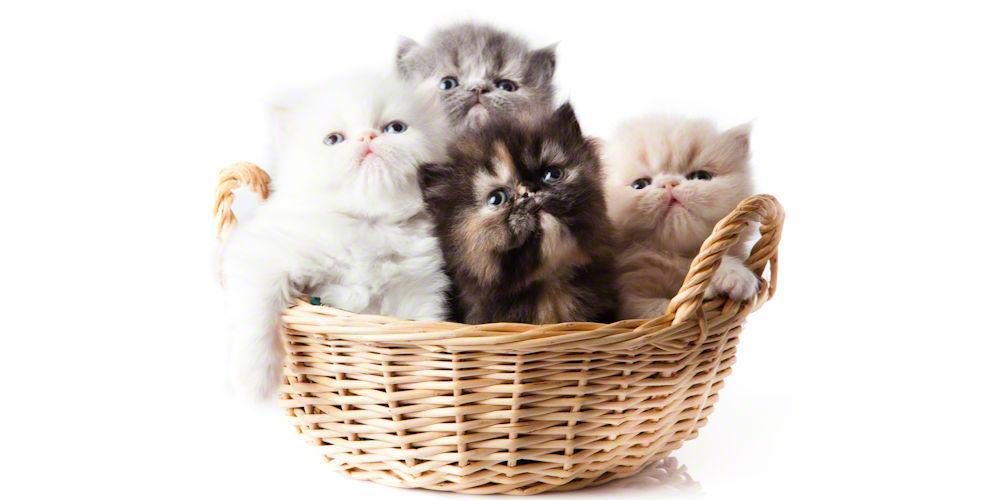 basketful of Persian kittens