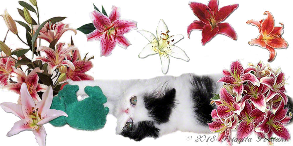 Black and White Persian kitten surrounded by lillies