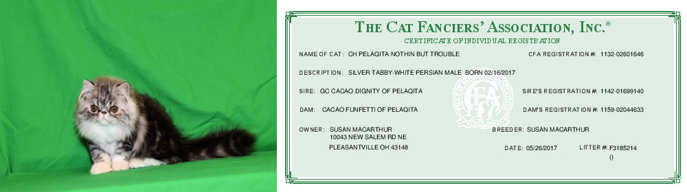 Persian kitten and CFA Registration Certificate