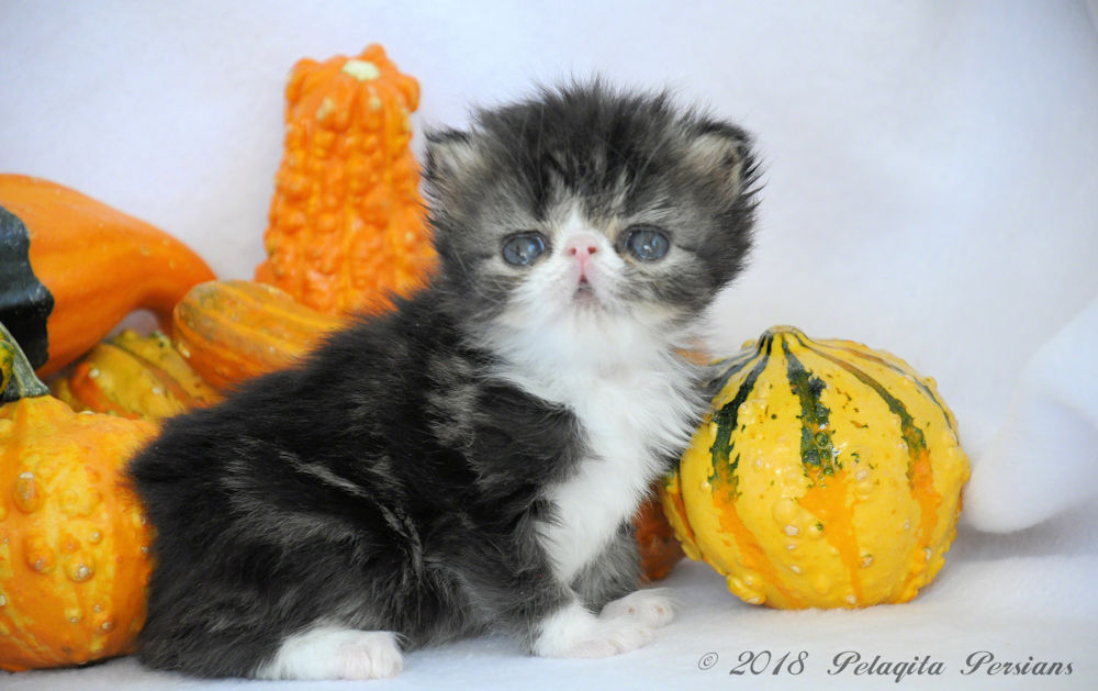 Four week old Persian kitten