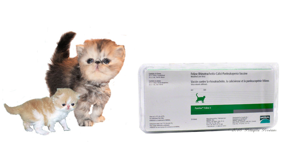 Persian kittens and feline vaccine