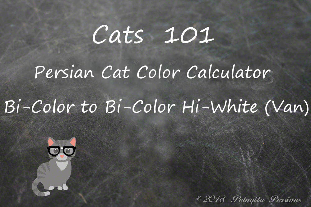 Persian cat color calculator-bi-color to bi-color van