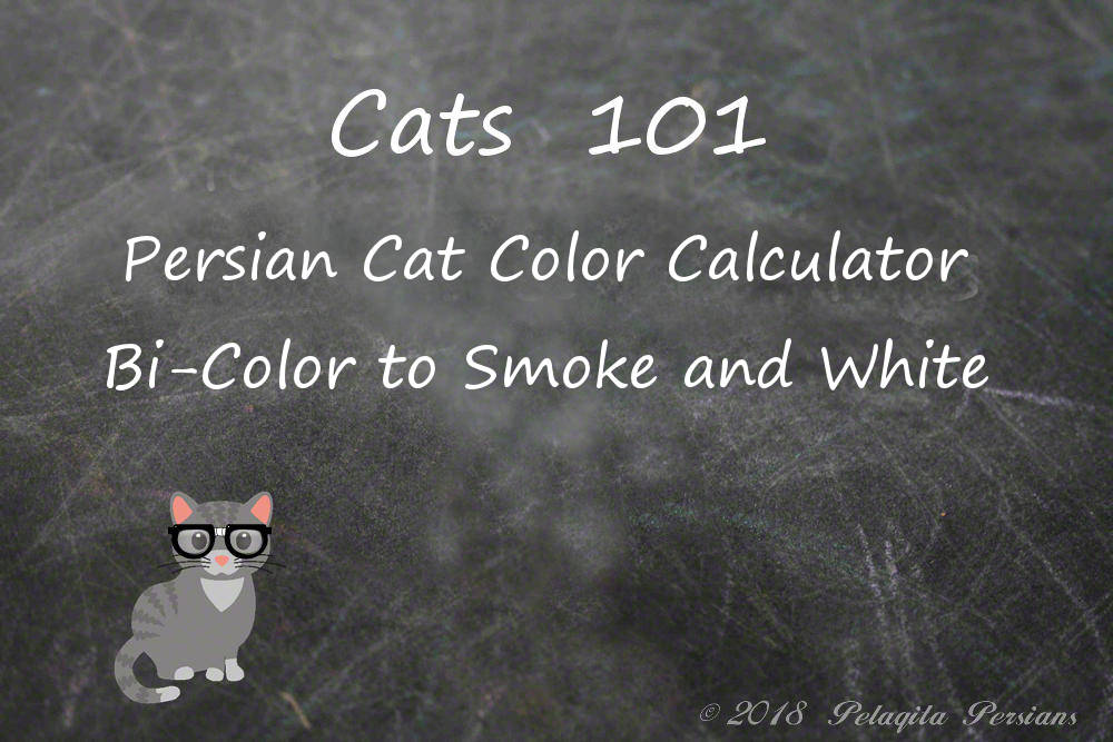 Persian cat color calculator bi-color to Smoke and White
