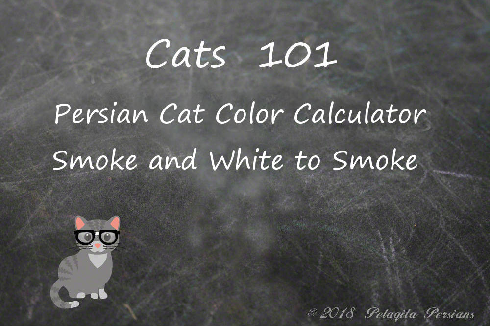 Persian cat color calculator for Smoke and White to Smoke