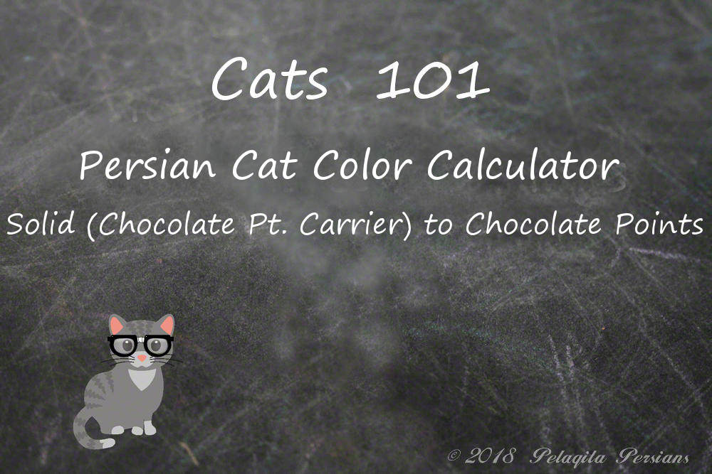 Persian cat color calculator - solid chocolate point carrier to chocolate points