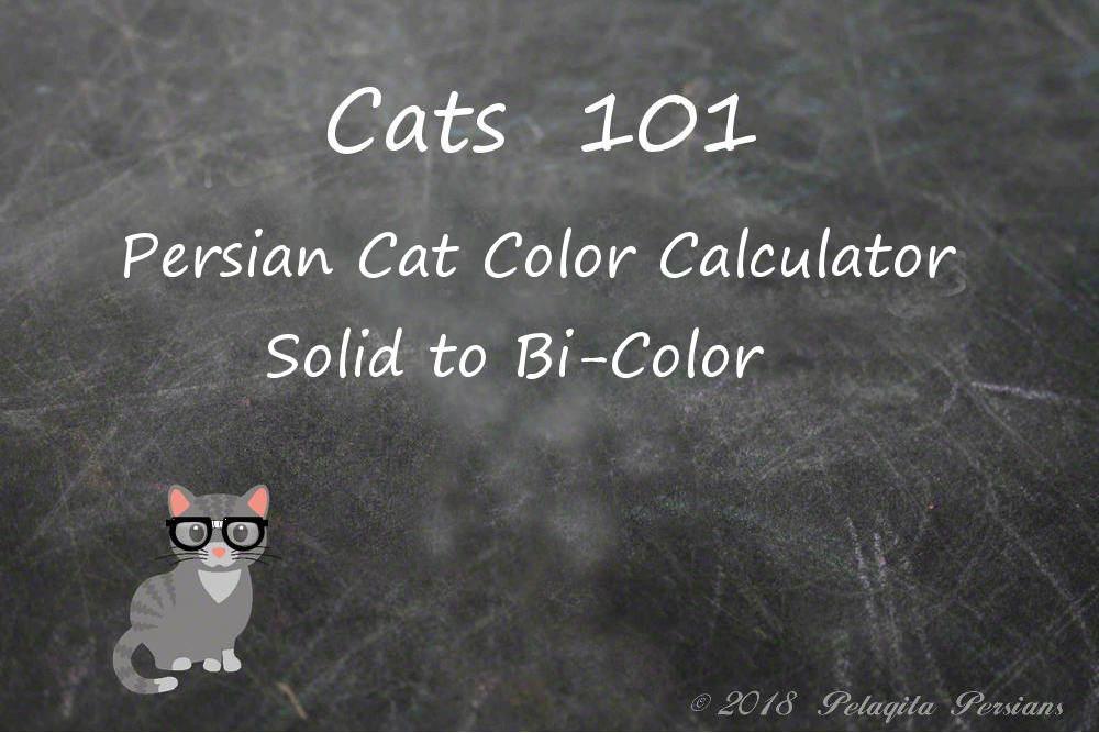 Persian cat color calculator - solid to bi-color