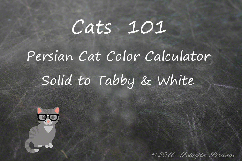 Persian cat color calculator - Solid to tabby and white