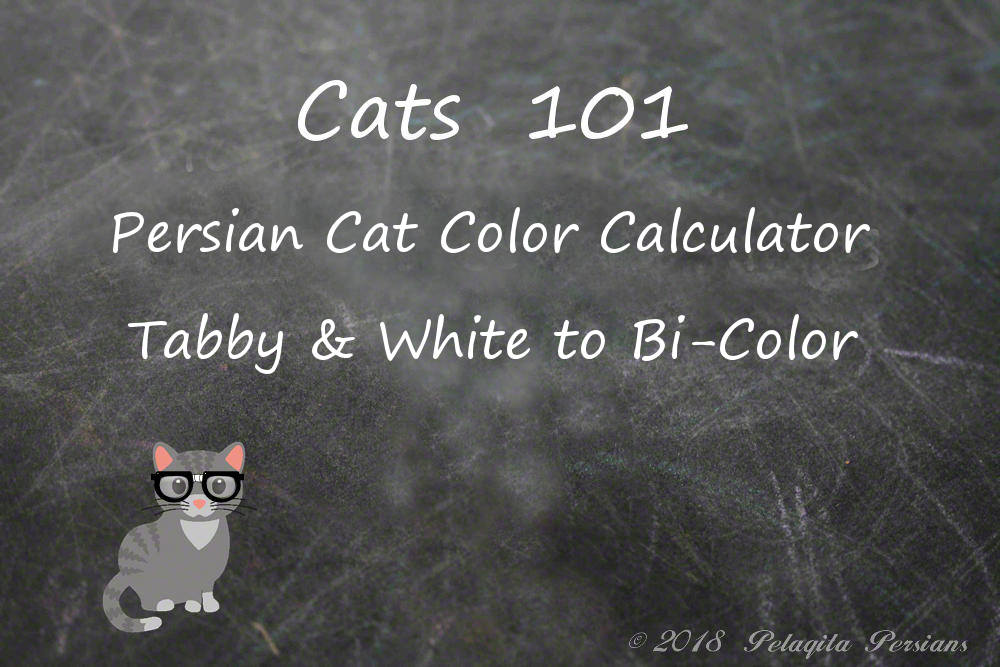 Persian cat color calculator - Tabby and White to Bi-Color color calculator