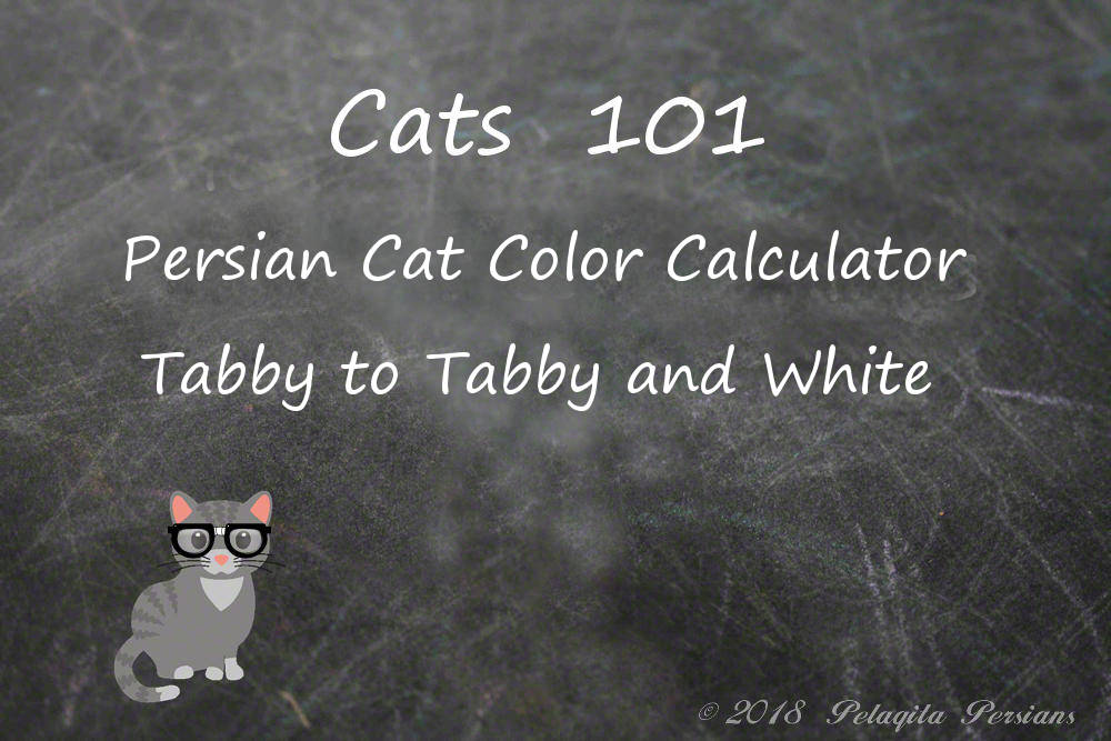 Persian cat color calculator - Tabby to Tabby and White color calculator