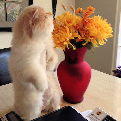 persian kitten standing by flowers