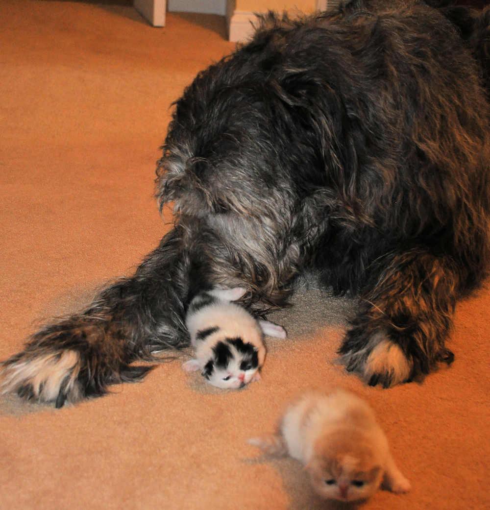 Irish Wolfhound dog with Persian kittens