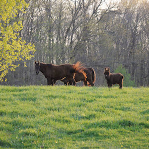 two horses and one mini-donkey in pasture