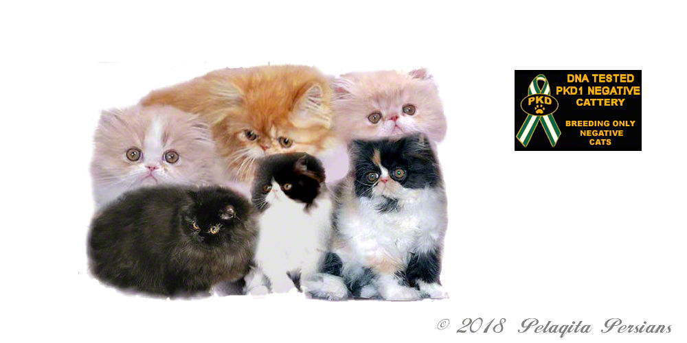 Group of Persian kittens and pkd1 badge