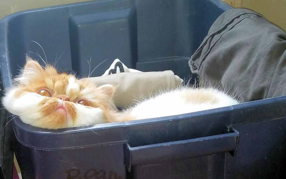 Ralph Mouth the Red Tabby cat laying in a box