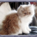 Cream & white Persian kitten