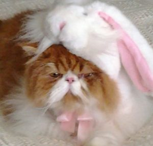 red tabby and white persian kitten in bunny suit