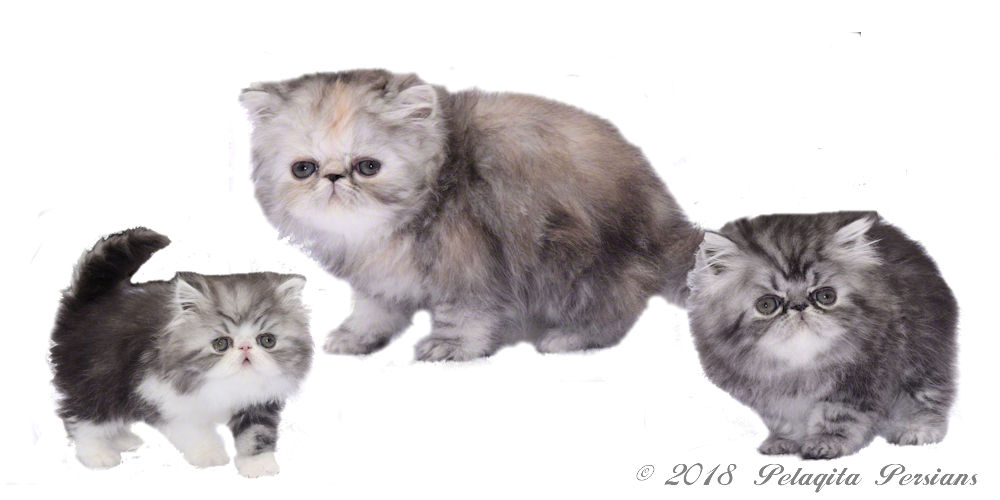 Persian Kittens for Sale ~ Pelaqita Persian Cats and Persian