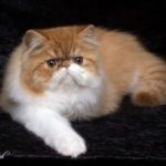 red tabby and white Persian cat
