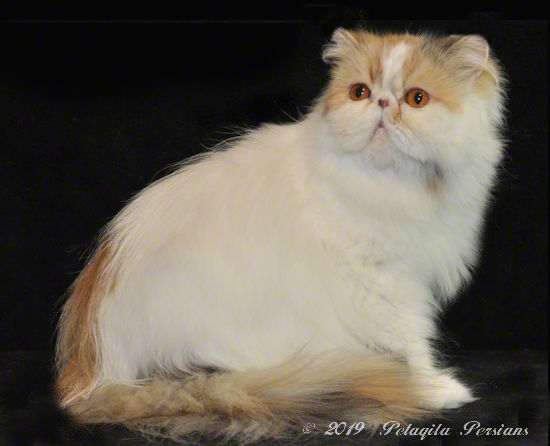 Posh Persian Persnickety of Pelaqita - Brown Patch Tabby and White Persian cat