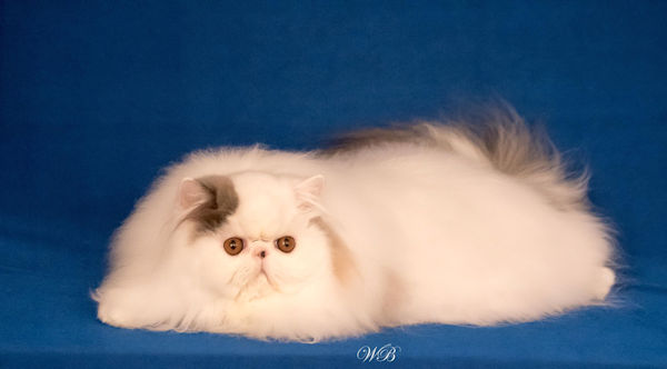 blue and white Persian cat